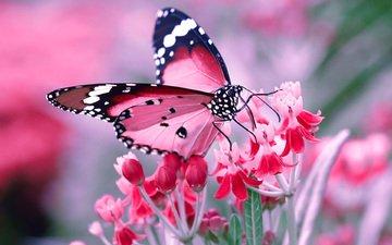 насекомое, цветок, бабочка