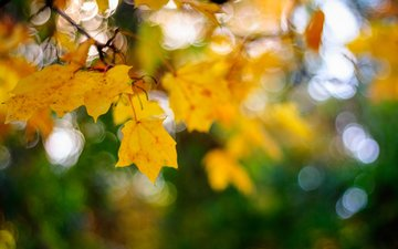 листья, макро, осень, боке