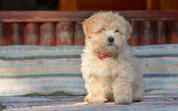 dog, puppy, shepherd, jordache, romanian shepherd