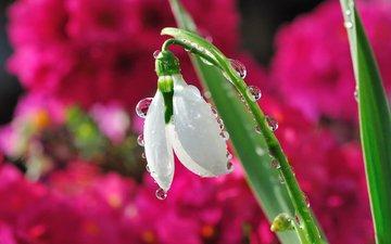 цветок, капли, размытость, весна, подснежник, капельки росы