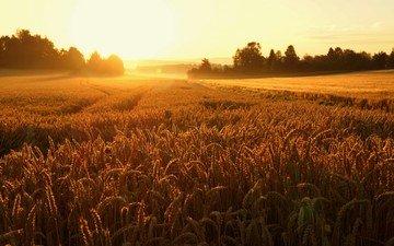 восход, поле, колосья, пшеница