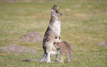 природа, луг, кенгуру, детеныш, кенгурёнок