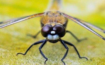 глаза, насекомое, крылья, стрекоза, лапки, крупным планом