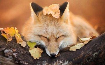 дерево, листья, мордочка, осень, сон, лиса, лисица, закрытые глаза