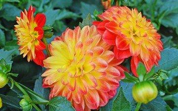 цветы, бутоны, листья, лепестки, оранжевые, георгины