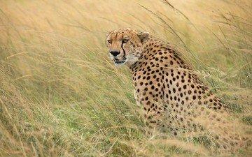 grass, predator, cheetah, wild cat
