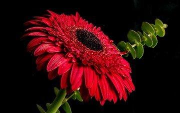 макро, цветок, лепестки, черный фон, стебель, гербера