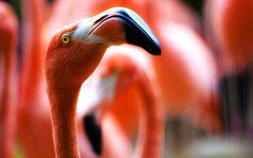 фламинго, размытость, птицы, клюв, шея, крупным планом