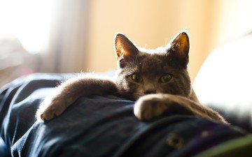 кот, кошка, взгляд, лежит, лапки