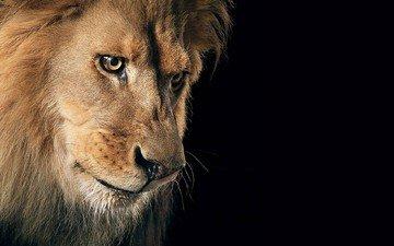 взгляд, хищник, черный фон, царь, лев, зверь, грива