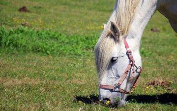 лошадь, трава, конь, грива