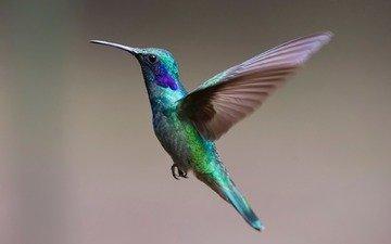полет, крылья, птица, клюв, перья, колибри