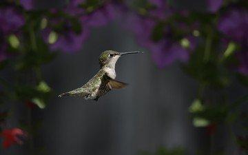 полет, крылья, птица, клюв, колибри
