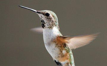 полет, крылья, птица, взмах, колибри