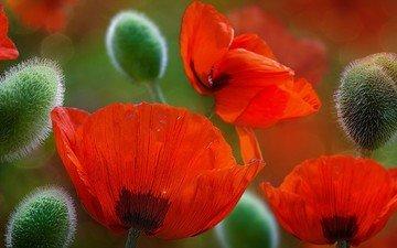 цветы, бутоны, лепестки, красные, маки