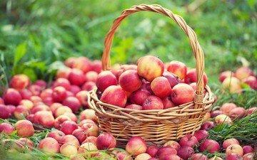 трава, фрукты, яблоки, урожай, плоды, корзинка, корзинка с яблоками
