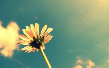 небо, облака, цветок, лето, лепестки, растение, стебель