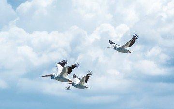 небо, облака, полет, крылья, птицы, пеликан, пеликаны