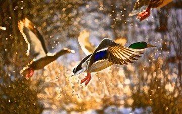 полет, капли, брызги, блики, птицы, утки, утка