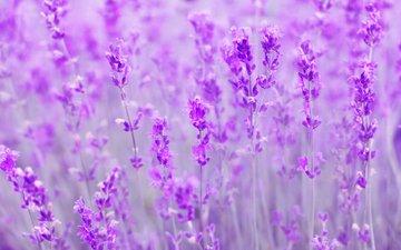 цветы, поле, лаванда, размытость
