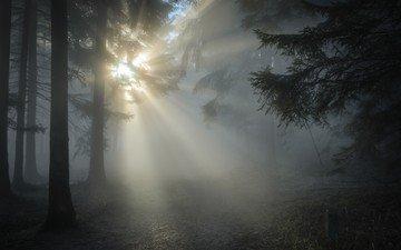 деревья, природа, лес, туман, солнечные лучи