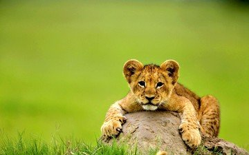lion cub on the rock