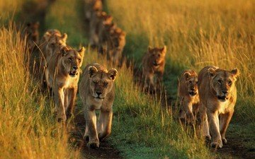 the cubs, lioness, pride