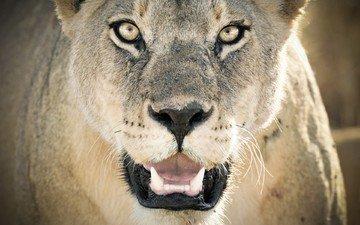 face, predator, leo, lioness, wild cat, closeup