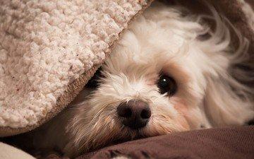 мордочка, собака, друг, одеяло, плед, уют, бишон