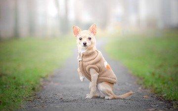 взгляд, собака, прогулка, позирование, чихуахуа, жилетка, собачонка, одёжка
