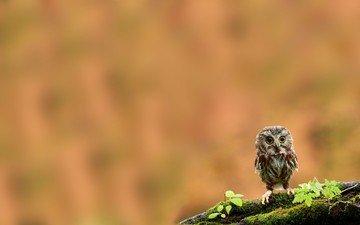 сова, птенец, ветка, птица, клюв, мох, перья, совенок