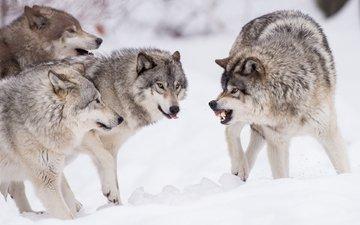 волки, стая