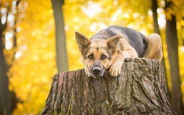 look, dog, stump, german shepherd, shepherd