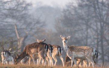 природа, лес, олень, олени