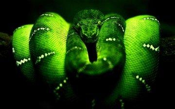 змея, рептилия, пресмыкающееся