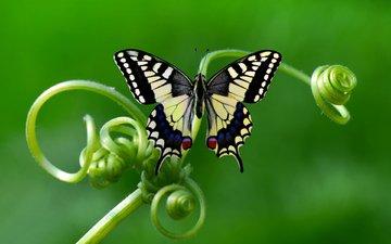 природа, макро, насекомое, фон, бабочка, растение