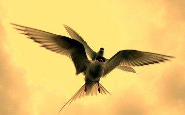 полет, крылья, птицы, клюв, перья, крачка