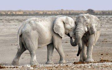 природа, слон, африка, уши, слоны, хобот, намибия