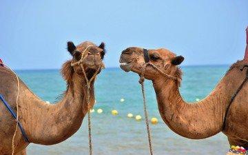 небо, море, горизонт, верблюд, шея, морды, верблюды