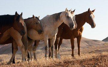 природа, поле, лошади, кони