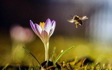 природа, насекомое, цветок, крылья, размытость, пчела, шмель, крокус
