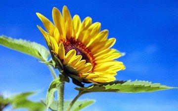 небо, листья, лепестки, подсолнух, желтый цветок