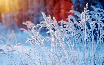 grass, snow, winter, macro, frost, spikelets, plant