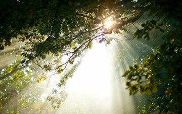 деревья, лес, лучи солнца