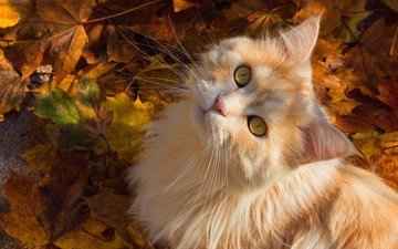 листья, кот, мордочка, усы, кошка, взгляд, осень, котенок, рыжий
