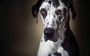 muzzle, look, dog, great dane