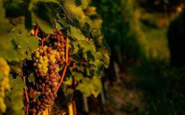 виноград, лоза