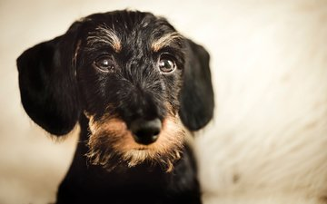 muzzle, look, dog, dachshund, wire-haired dachshund