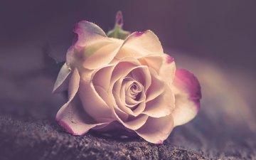 цветок, роза, лепестки, размытость