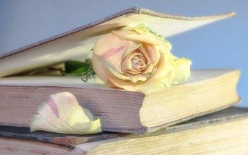 цветок, роза, лепестки, книги, книга, страницы